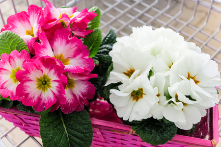polyanthus: Spring in shopping trolley