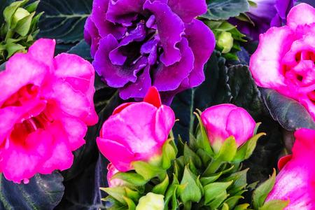 sonata: Decorum plans, pink and violet Brazilian Gloxinia Sonata