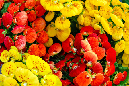 Deco Plant-Red and yellow flowering calceolaria Stock Photo