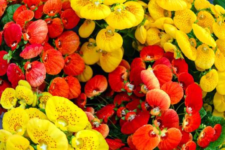 calceolaria: Deco Plant-Rosso e calceolaria fioritura gialla