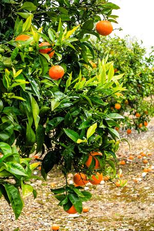 windfalls: Orange tree with ripe fruits