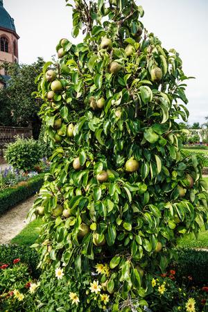 pear tree: Great Plenty of fruits on dwarfish pear tree in Convent Garden in Seligenstadt, Germany