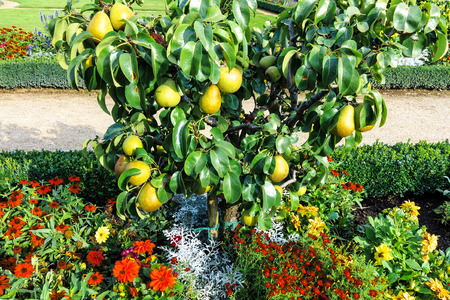 dwarfish: Great Plenty of fruits on dwarfish pear tree