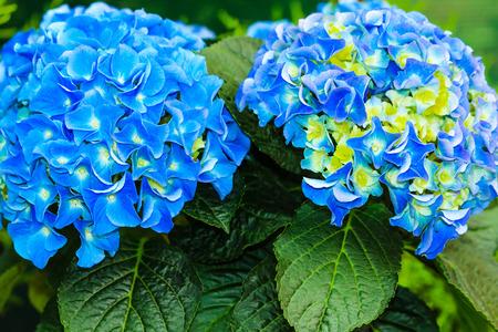 hydrangea macrophylla: Blue and yellow hydrangea macrophylla Stock Photo