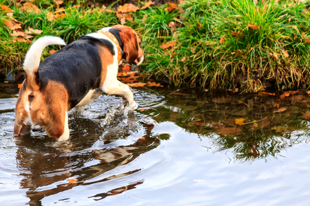 late fall: Beagle taking bath in the Duck Pond in late fall