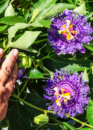passionflower: Passionflower Passiflora Temptation in a garden Stock Photo