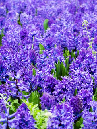 hyacinths: Hyacinths lilac field in spring
