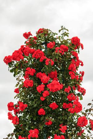Dark red climbing rose bush in the rose garden of Bois de Boulogne, Paris Imagens