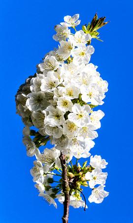sky brunch: Cherry blossom against blue sky