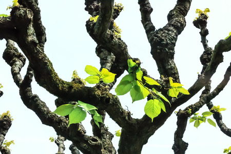limetree: Linden-tree leaves (Tilia platyphyllos) in early spring Stock Photo