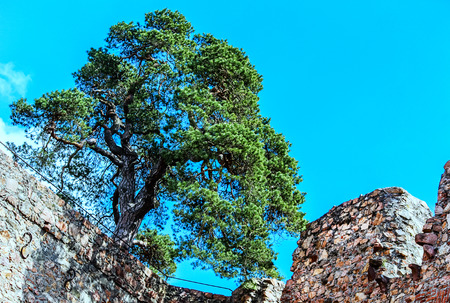 scots pine: Auerbach Castle with Scots pine on the castle wall in Hessen, Germany