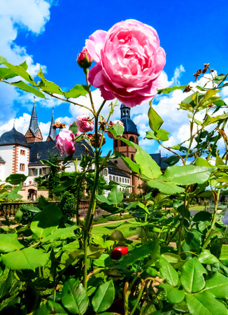 Tall Pink Rosebush in Convent Garden of historic medieval town Seligenstadt on the Banks of the River Main, Germany