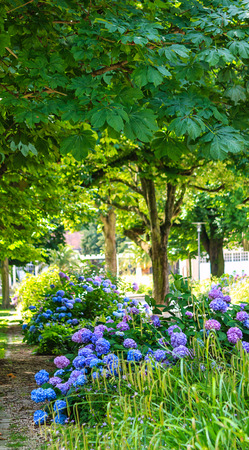 beneath: Blue hydrangea bushes beneath the chestnut trees in summer park Stock Photo