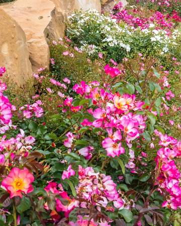 rosengarten: Carpet of Pink and white dwarf roses in a rose garden
