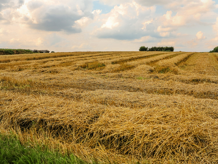 harvested: Harvested wheat field before sunset