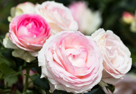 pale: Pale pink roses in a garden Stock Photo