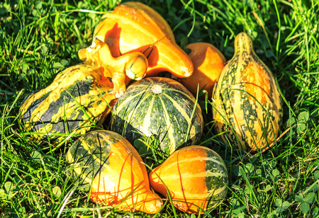 Small colorful ornamental gourds in the grass