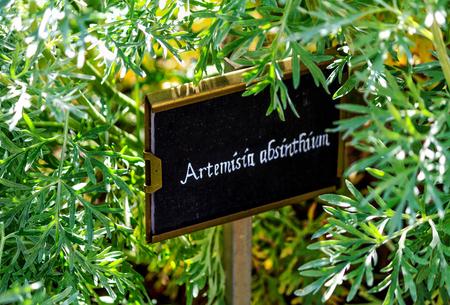 쑥 (Artemisia absinthium)은 압생트 쑥, 녹색 생강 또는 웅대 한 쑥 스톡 콘텐츠