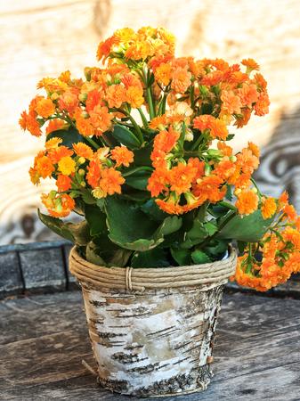 Beautiful succulent Kalanchoe blossfeldiana flower in birch bark flower pot Stock Photo