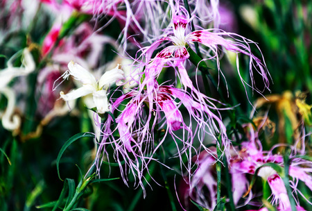 Tall carnation flowers (Dianthus superbus) - Sweetly scented flowers exude a pronounced lilac fragrance