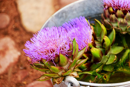 tin: Freshly picked artichoke flowers in tin bucket