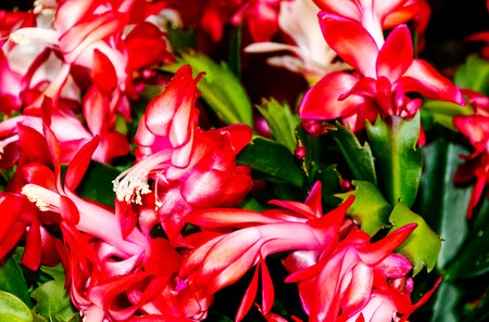 Potted decorative succulent Schlumbergera, commonly called Christmas cactus or Thanksgiving cactus Stock Photo