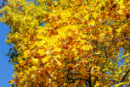 Tulip tree (Liriodendron tulipifera) in golden yellow autumnal splendor