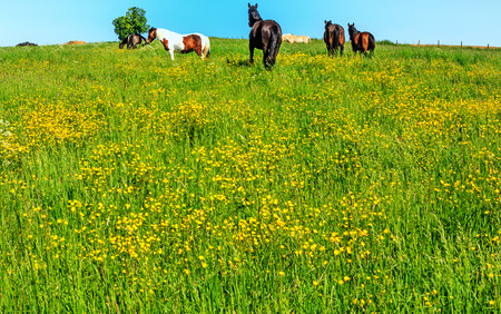 Hessian spring landscape with shiny yellow buttercups horse paddock