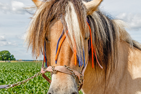 Lovingly decorated Norwegian Fjord horse, one of the oldest pure breeds of horse