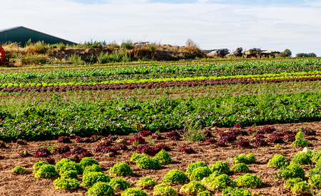 Organic farming in Germany. Large fields with different lettuce plants.