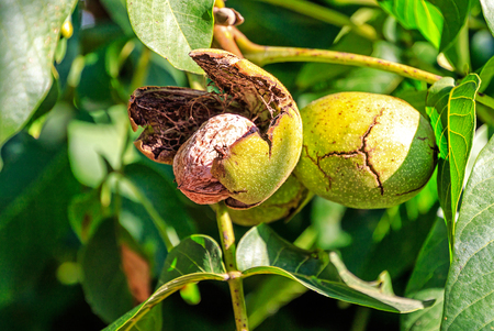 Walnuts hanging on the tree. The green walnut outer shell is breaking immediately.