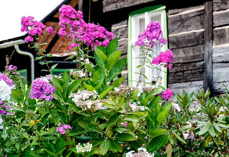 Phlox paniculata in a blockhouse garden in the Spreewald Biosphere reserve, moorland and fairytale idyll. Brandenburg, near Berlin, Germany