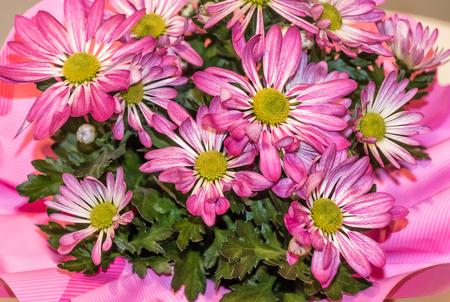 Bouquet of River daisy flower (Osteospermum ecklonis)