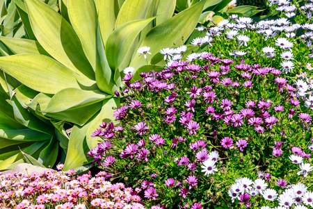 Agave attenuata and River daisy flower (Osteospermum ecklonis) in a tropical garden, southern Spain