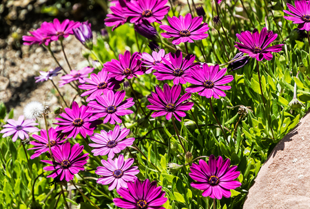 River daisy flower (Osteospermum ecklonis) in a tropical garden of Costa del Sol, southern Spain