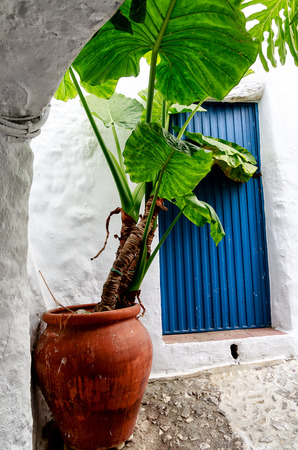 Potted Alocasia plant (also called Elephant Ear or African Mask) in front of a blue Spanish door in Frigillana Andalusian white village. Costa del Sol, Spain Stockfoto