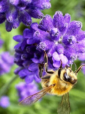 A honey bee on lavender flower in a garden