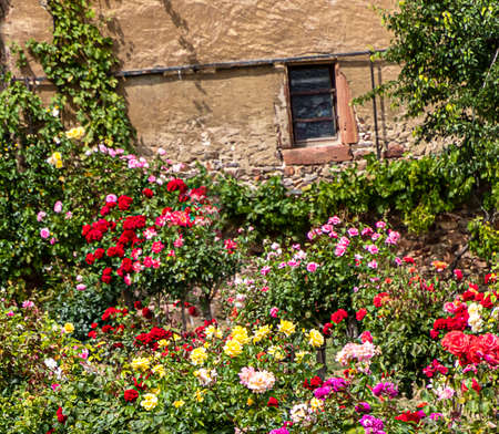 Multicolored roses in a small rose garden behind the old stone house wall. Standard-Bild