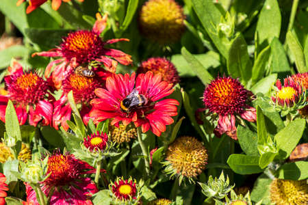 Red and yellow flowering Echinacea plant with a bee