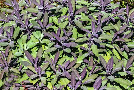 Culinary herb background - Salvia officinalis 'Tricolor' Sage Archivio Fotografico
