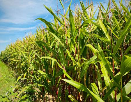 Green corn field in late summer