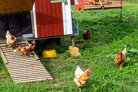 Free-range chicken (Bovan Brown) on a German organic farm, freely grazing at the modern wheeled henhouse on a green meadow.