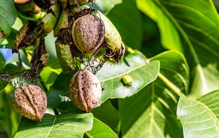 The mature walnuts in the green outer shell still hanging on the tree. Archivio Fotografico