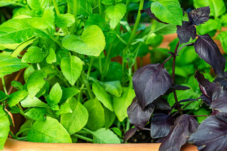 Potted green and purple basil plants