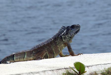 A large iguana enjoys the sun on Grand Cayman photo
