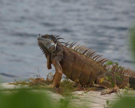 An iguana sunning itself alongside a canal on Grand Cayman in the Cayman Islands photo