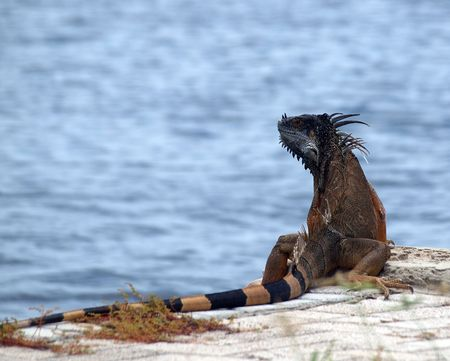 A non native iguana considered a pest in the Cayman Islands photo