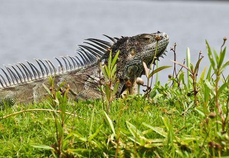 Green Iguana Grand Cayman photo