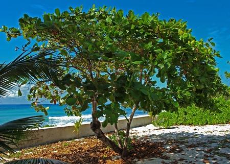cayman islands: Sea Grape Tree Grand Cayman Cayman Islands Stock Photo