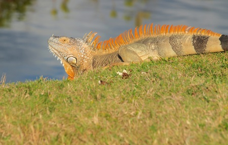 cayman: Cayman Islands Green Iguana
